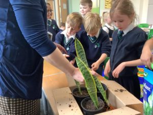 A group of Bearsted Primary Academy students are pictured dividing cloned plants into pots.